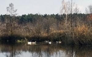 Руководство заповедника обещает принять исчерпывающие меры по изъятию больного лебедя из семьи
